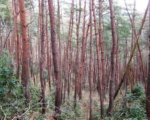 巨木の種類は「アカマツ」と言う、種類の木で、1704年に日向国(宮崎県)にある霧島山の白鳥神社の付近に育っていたいたそう