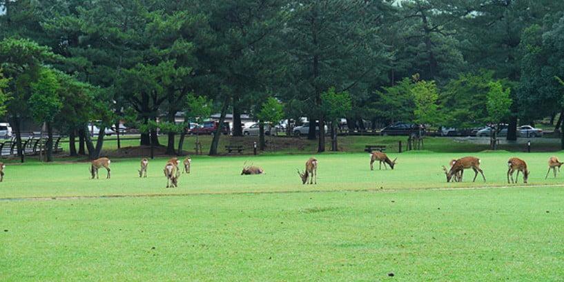 奈良公園で芝をムシャムシャ....ムシャムシャ....。
