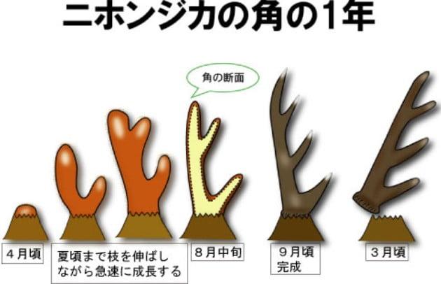 奈良公園の鹿さんの寿命って何歳??