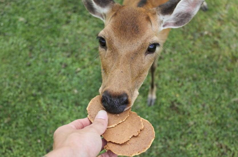奈良公園の鹿さんステイタス!「鹿さんの種類と食べ物について」