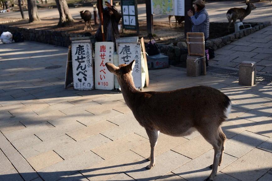 奈良公園の鹿に迫る、様々な危険とは?!