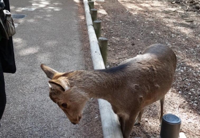 奈良公園の鹿は、食べ物を貰うときにお辞儀をする?!
