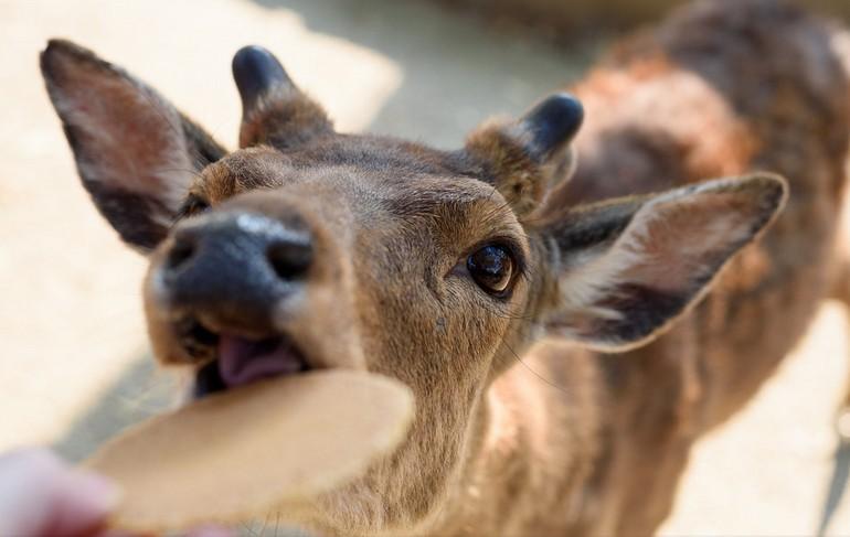 奈良公園の鹿は危険で噛んだり蹴ったり人を襲うけど・・お辞儀もする!?