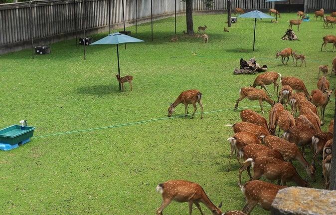 奈良公園・「小鹿公開」