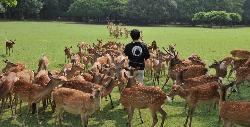 奈良公園・「鹿寄せ」