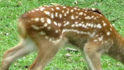実は、鹿も、四季によって服装を変えています