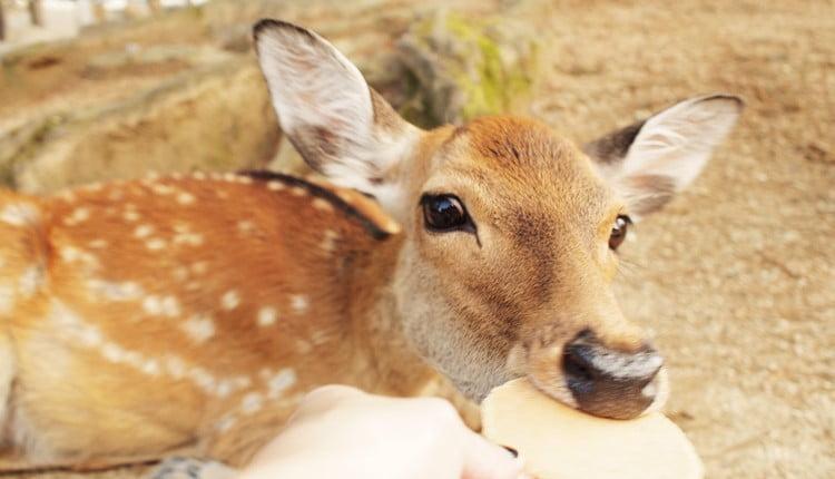 鹿さんにあげるおやつは「鹿せんべい」じゃなきゃだめ?