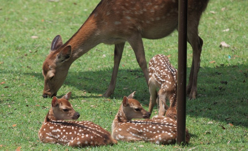 鹿の赤ちゃんの生態について